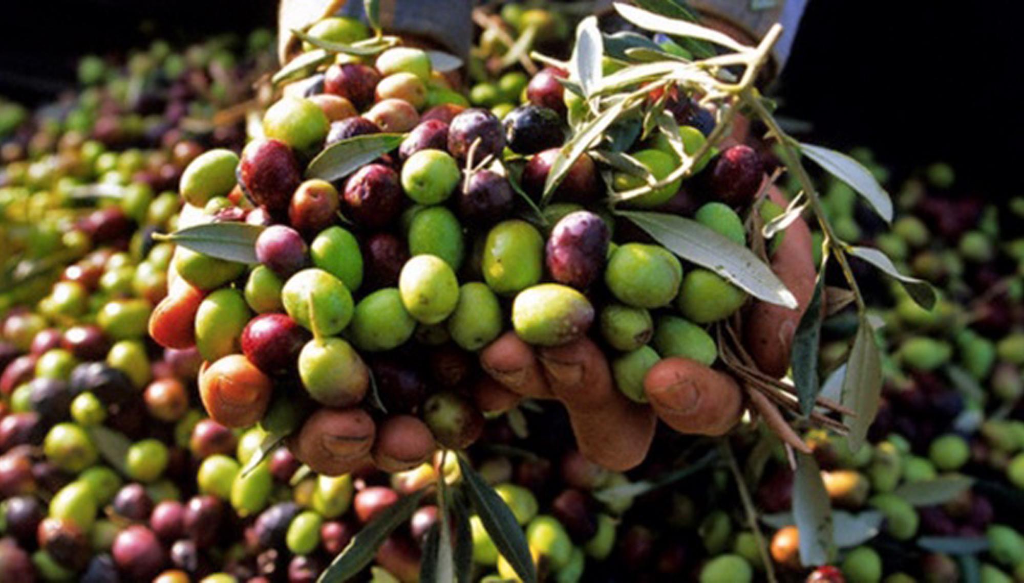 Beneficiile sâmburilor de măsline